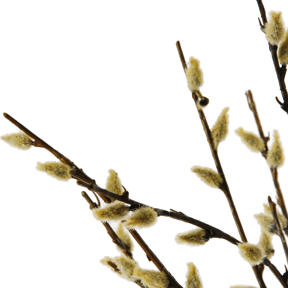 Rooting-Pussy-Willow-detail