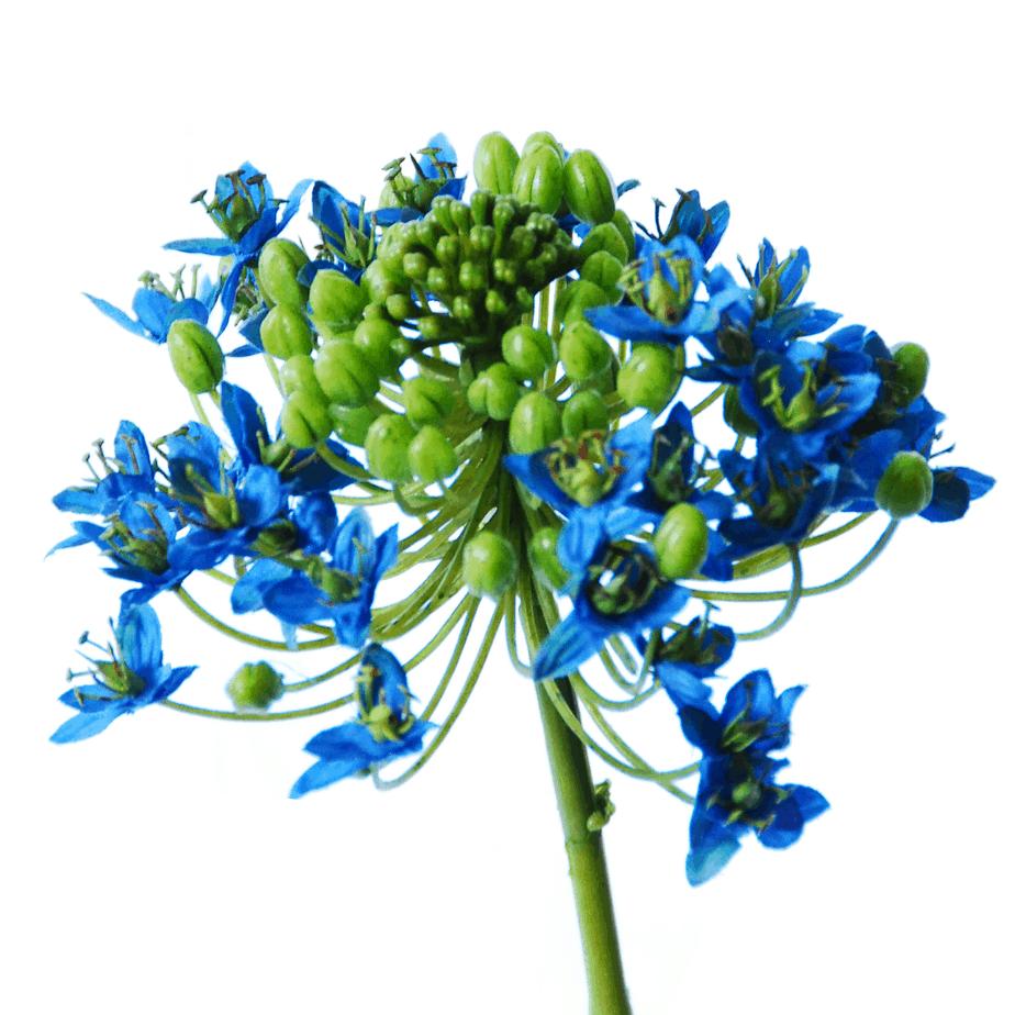 Berühmt Ornithogalum Arabicum | 63 cm | blue | FlowerDutchess.com &GF_81